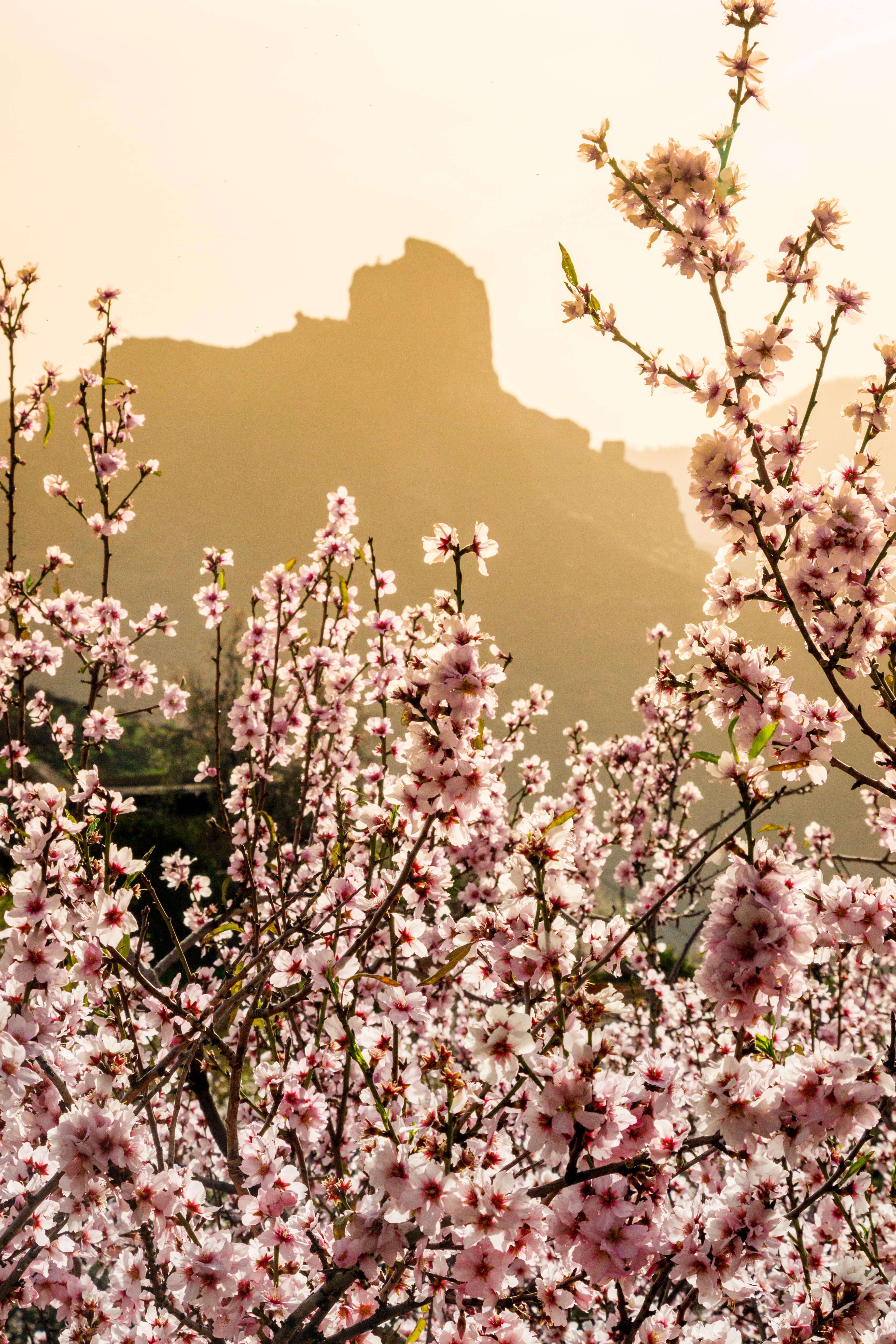 Almond blossom in front of Bentayga rock
