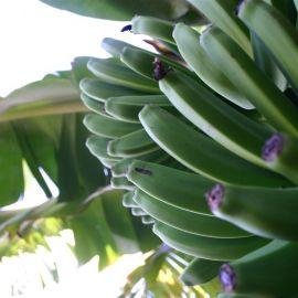 bananas-fd0000
