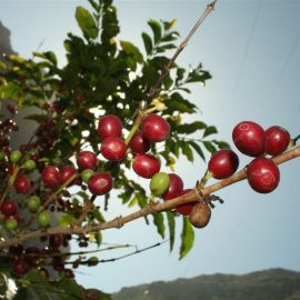 coffee_in_the_valley_of_agaete