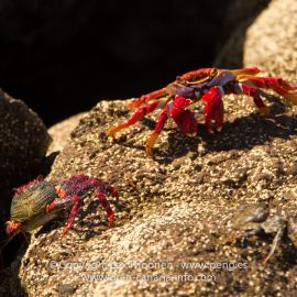 crabs-002