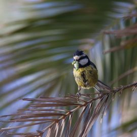 great_tit-003