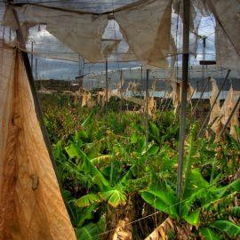 Death of a Bananafield