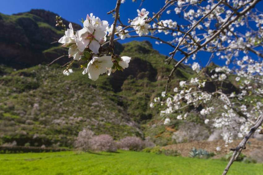 Gran Canaria is covered in almond blossom in January