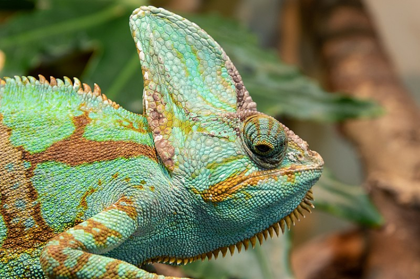 Several veiled chameleons (Chamaeleo calyptratus) have been found close to Arucas, raising fears that the species has gone wild in Gran Canaria