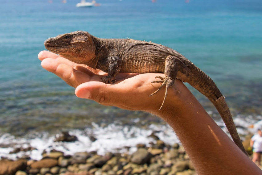 The giant Gran Canaria lizard