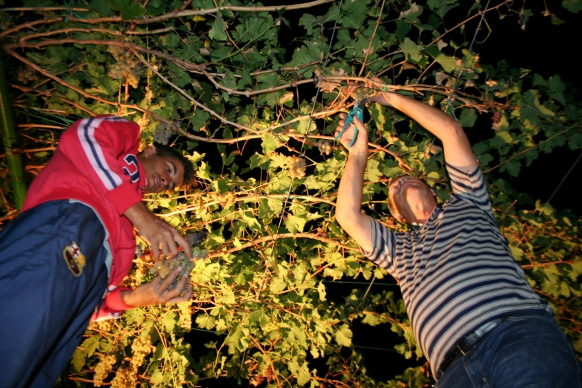 Gran Canaria grape harvest