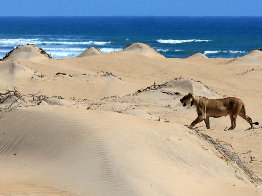 Lion in the Maspalomas dunes